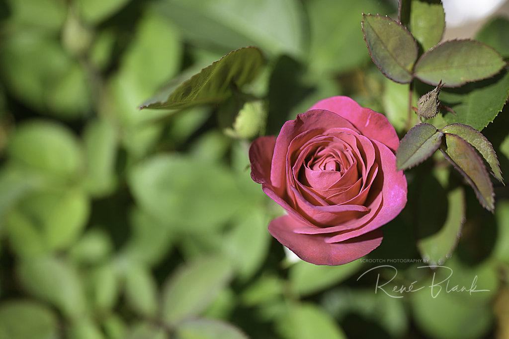 rosen-20140315-1734996521.jpg